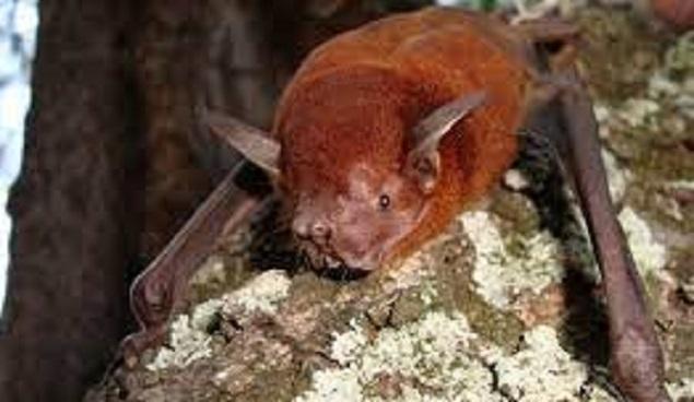 Lesser bulldog bats
